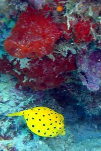 Box fish :)