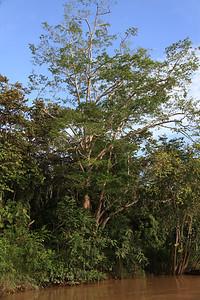Drzewa na których żyją nosacze