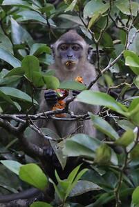 Makaki wyławiają owoce z wody