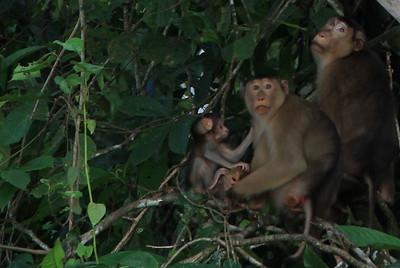 Rodzinka makaków