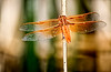 This orange dragonfly is referred to as a flame skimmer or firecracker skimmer. This specimen was in a marsh connected to Harney Lake on the Double-O Ranch in Harney County, Oregon.