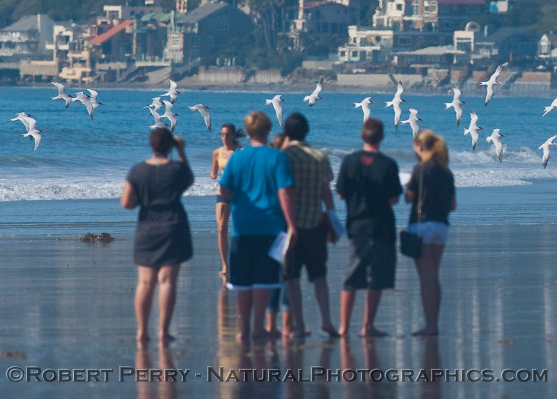 Malibu High Biology students and Elegant Terns (Sterna elegans).