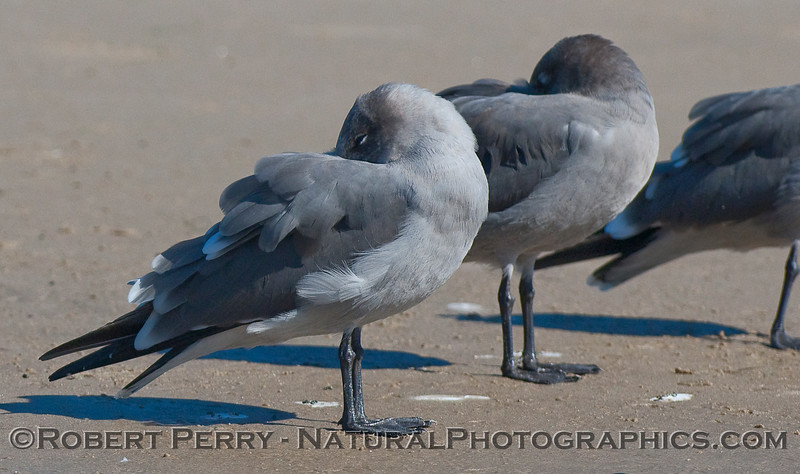 Sleeping Heerman's Gulls (Larus heermanni).