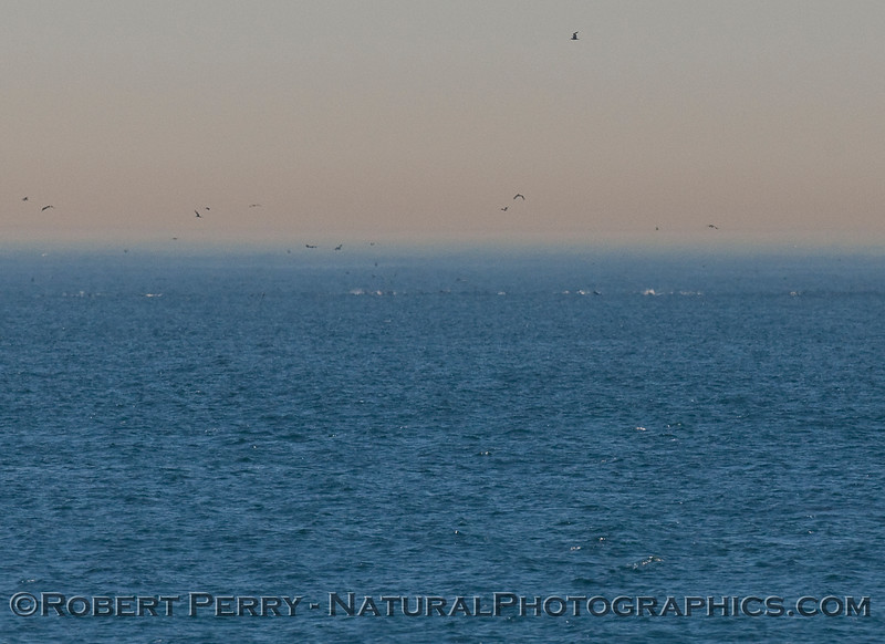A line of several hundred Common Dolphins (Delphinus sp.) about a half mile offshore with Pelicans and other birds diving.