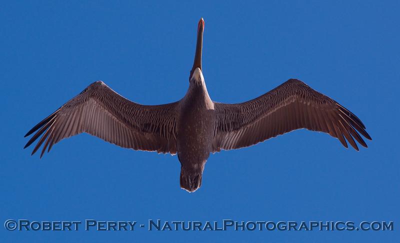 Belly view of a Brown Pelican (Pelecanus occidentalis).