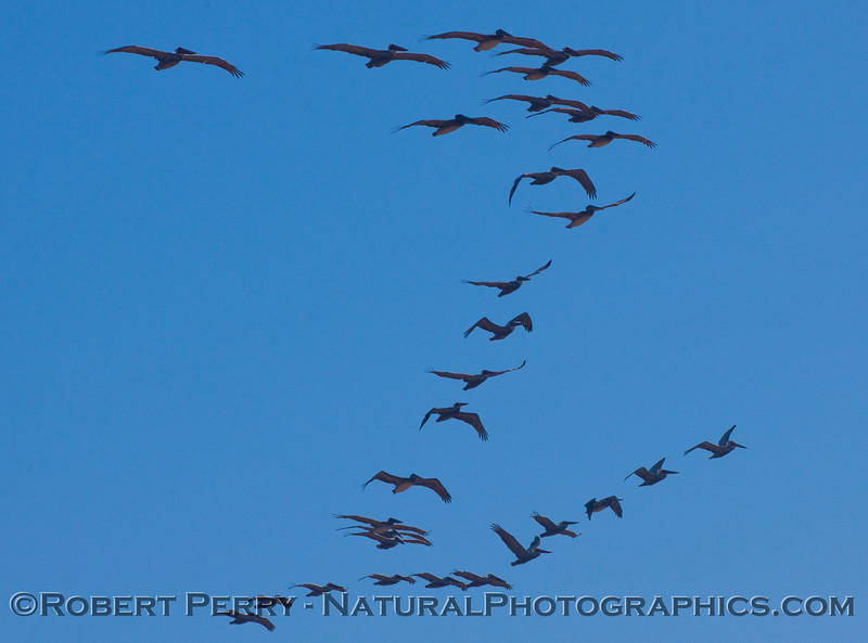 Lines of Brown Pelicans (Pelecanus occidentalis).