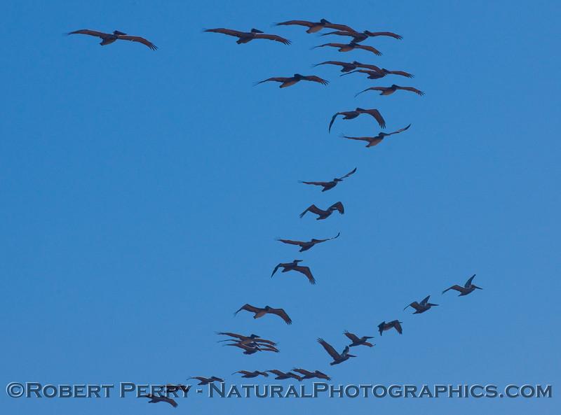 Lines of Brown Pelicans (Pelecanus occidentalis).