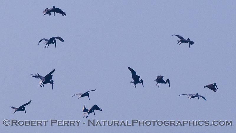 Crazy Brown Pelicans (Pelecanus occidentalis) hover over a feeding hot spot.