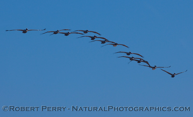 A wave of Brown Pelicans (Pelecanus occidentalis).