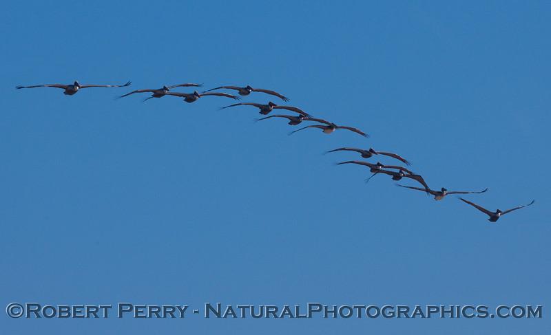 A wave of Brown Pelicans (Pelecanus occidentalis).