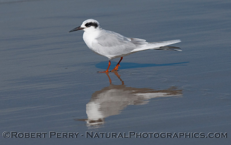 A Forster's Tern (Sterna forsteri) mirrored on the wet sand.