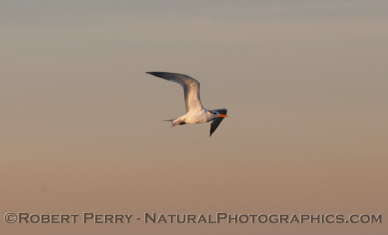 A Forster's Tern (Sterna forsteri) in flight at dawn.