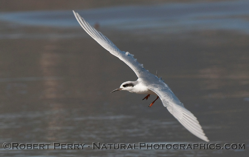 A Forster's Tern (Sterna forsteri) prepares to land on the wet sand at Zuma Beach.