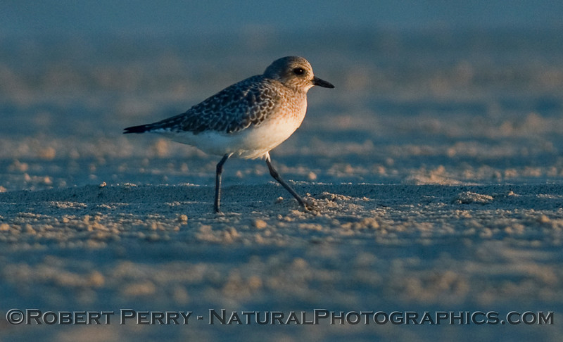 Black Bellied Plover (Pluvialis squatarola) at dawn - ground level.