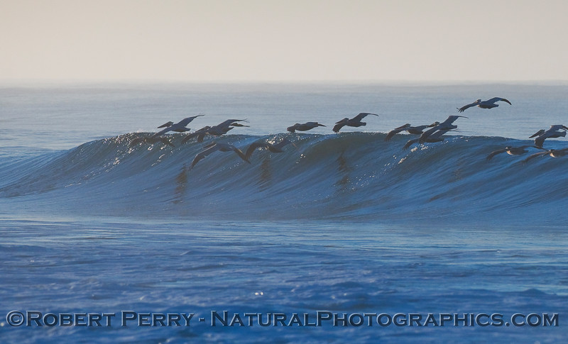 wave 3 - Brown Pelicans surfing