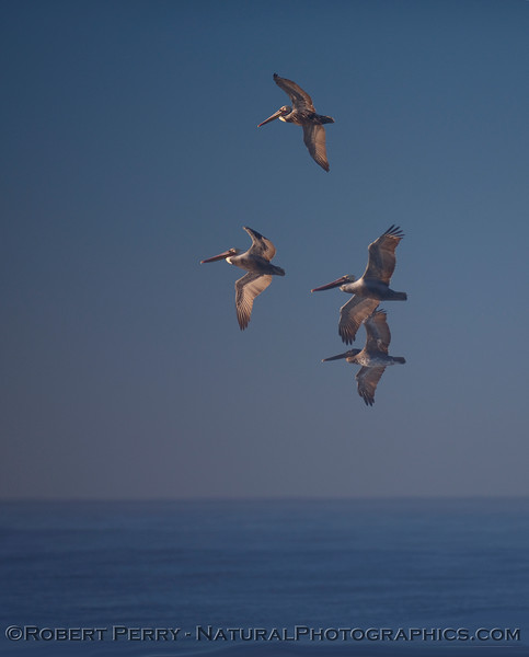 Four Brown Pelicans (Pelecanus occidentalis) at dawn.