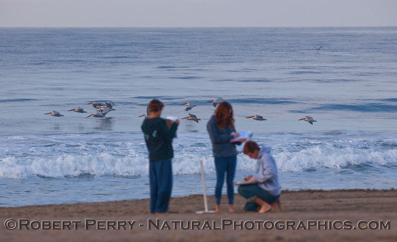 Student researchers and a flock of Pelecanus occidentalis.