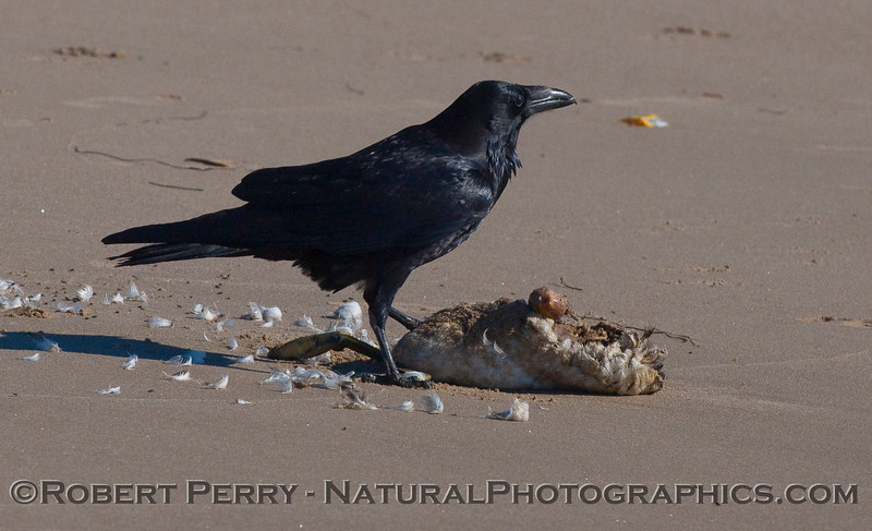 Corvus brachyrhynchos feeding on a deceased Aechmophorus occidentalis.