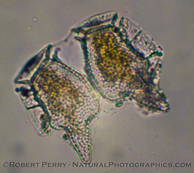 Two specimens of Dinophysis that appear to be new cells after division.