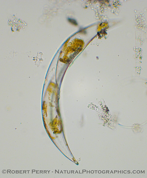 The dinoflagellate, Pyrocystis lunula.