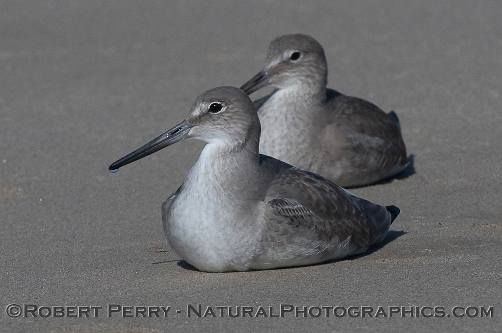 Two Willets (Tringa semipalmata) resting on the sand.