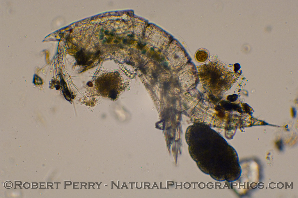 Side view of a copepod with an egg sac.