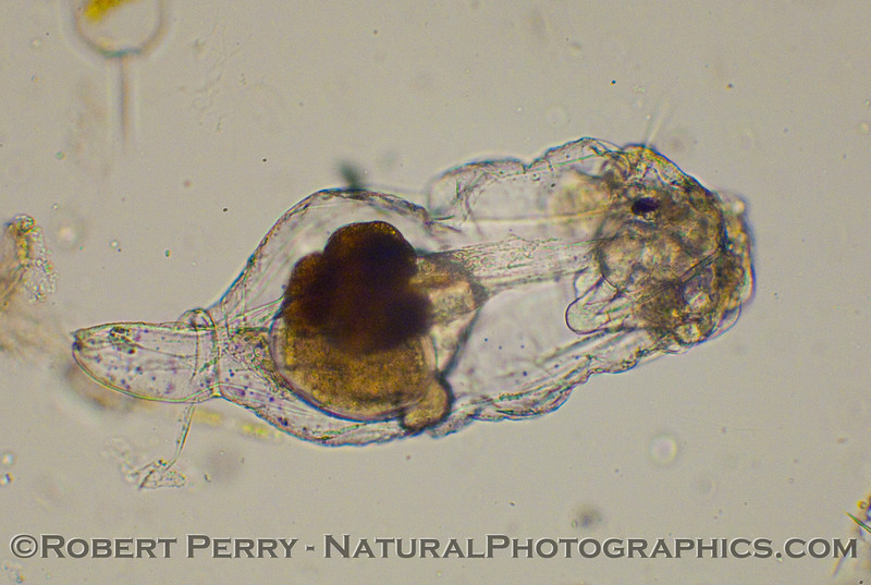 A rotifer with its head retracted and an egg forming inside.