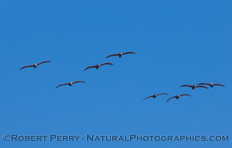Eight Brown Pelicans soaring directly at the camera (Pelecanus occidentalis).