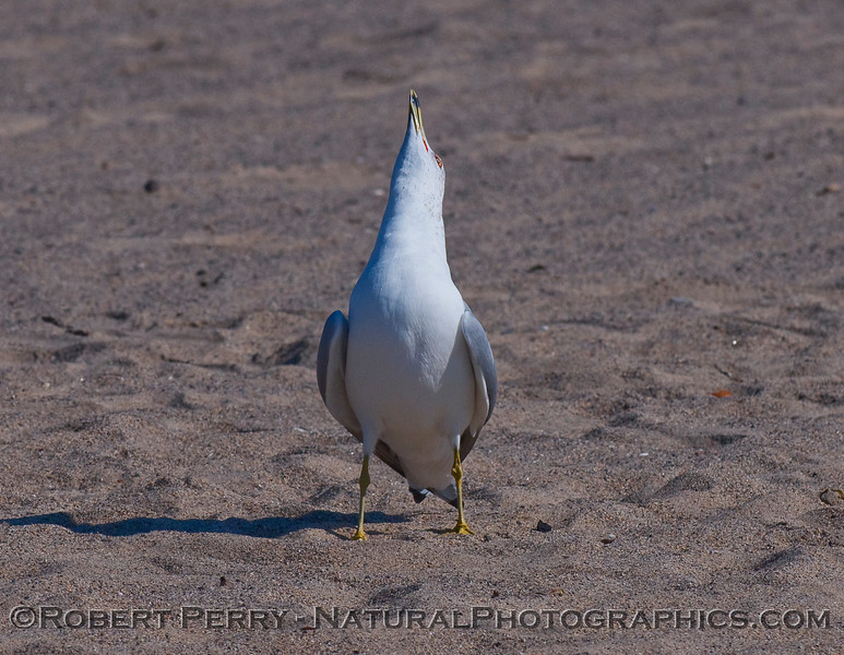 A Ring Billed Gull (Larus delawarensis) postures and calls out to establish its territory on the sand.