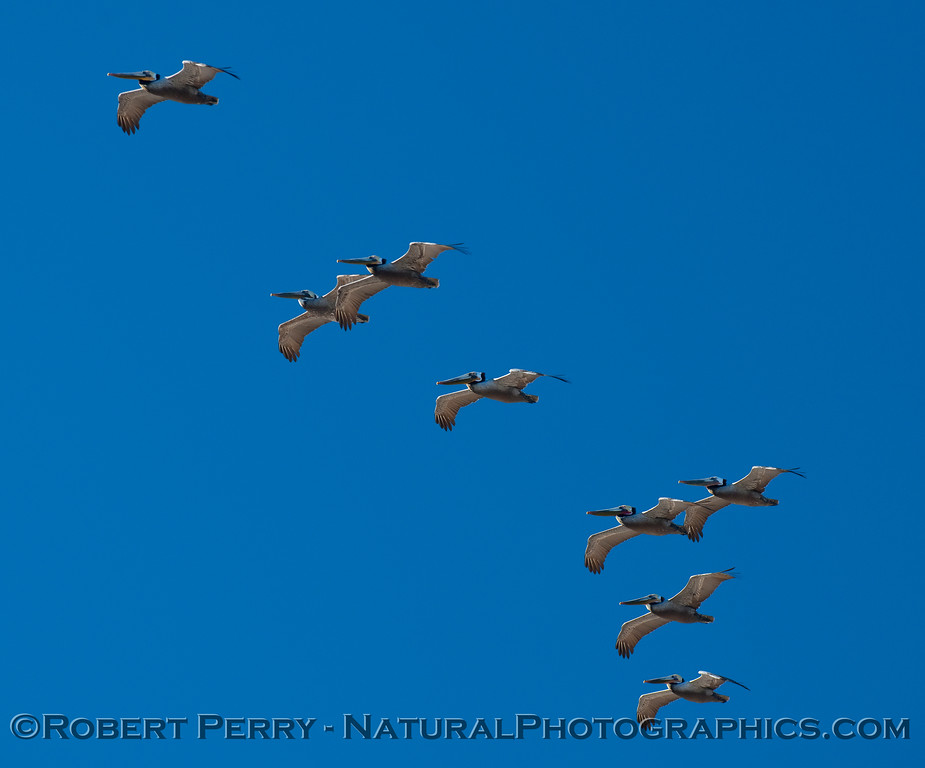 Eight Brown Pelicans pass closely overhead (Pelecanus occidentalis).