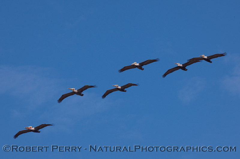 Six Brown Pelicans soaring in formation (Pelecanus occidentalis).