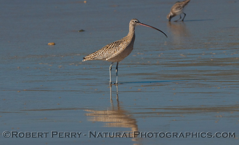 A large Whimbrel (Numenius phaeopus) standing on wet sand at low tide.  In the back, a Willet (Tringa semipalmata) digs for sand crabs.  Moments later when the Whimbrel dug up a sand crab, the Willet immediately charged the Whimbrel and stole its dinner.