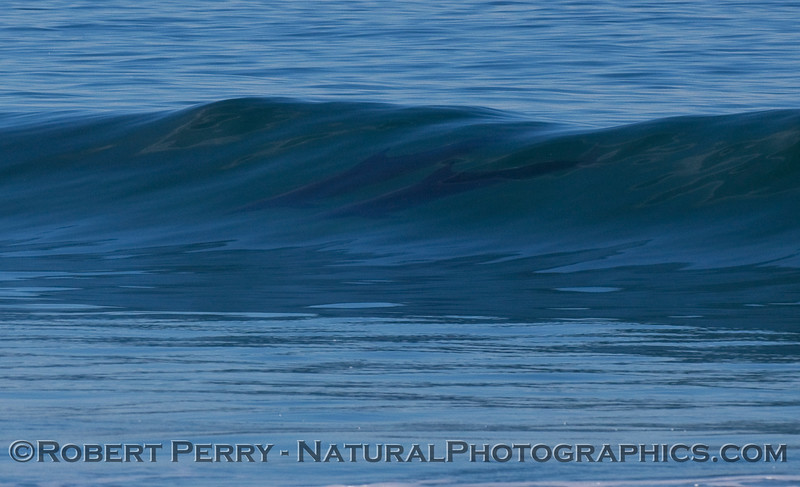 Image 5 of 6 in a sequence showing 2 surfing Bottlenose Dolphins (Tursiops truncatus).