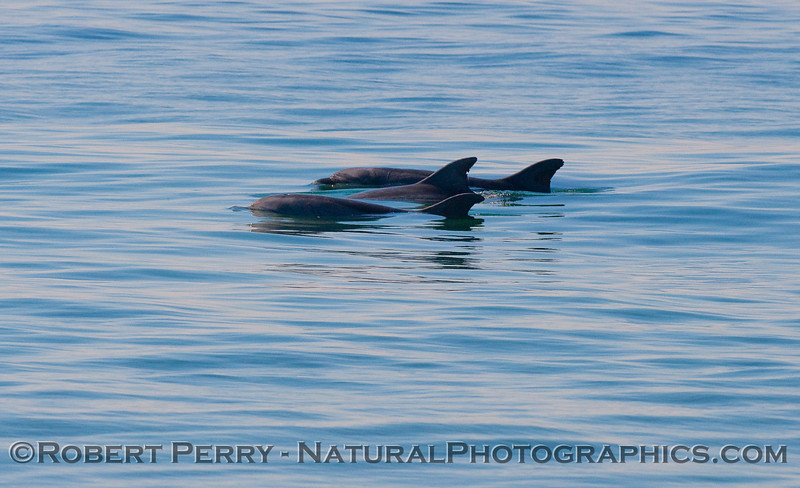 Three Bottlenose Dolphins (Tursiops truncatus).