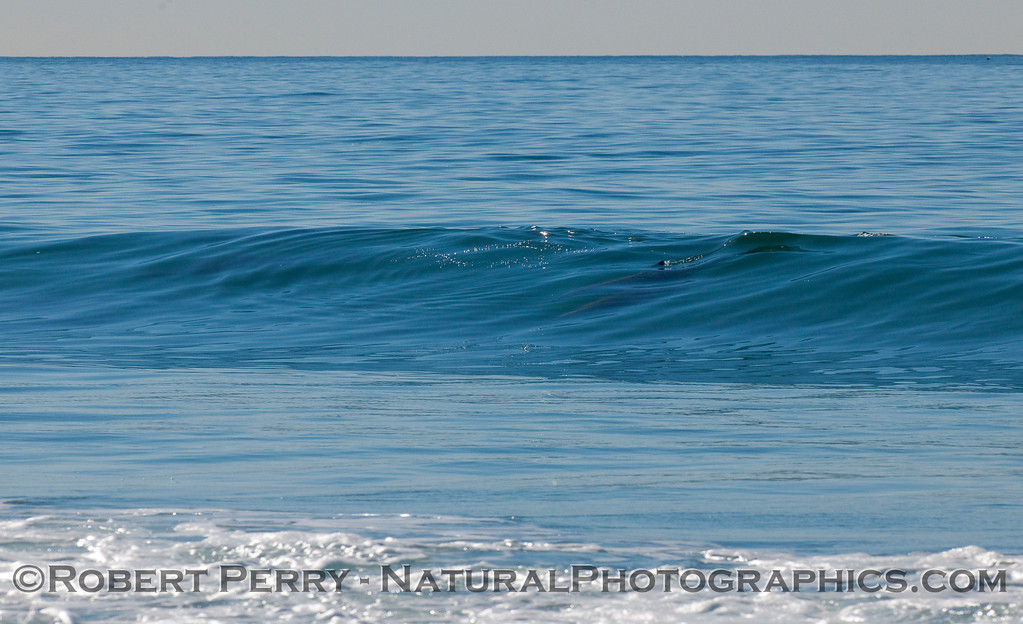 Image 1 of 6 in a sequence showing 2 surfing Bottlenose Dolphins (Tursiops truncatus).