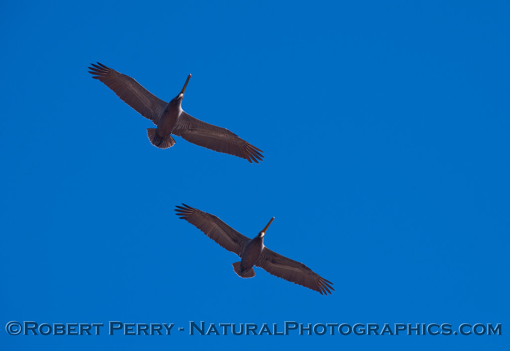Two Brown Pelicans soaring overhead (Pelecanus occidentalis).