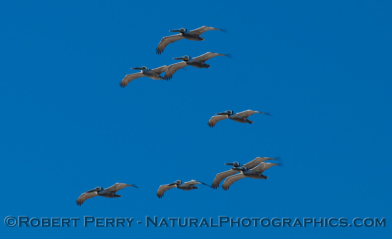 Eight Brown Pelicans soaring on the afternoon breeze (Pelecanus occidentalis).