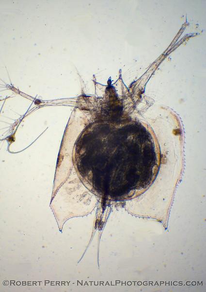 Another cladoceran crustacean - Penilia avirostris - dorsal view.