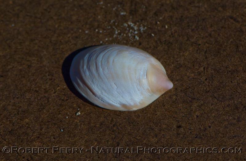 Slipper shell - Crepidula sp - dorsal.