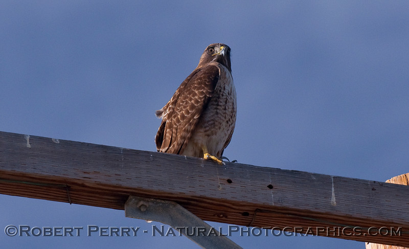 Red Tailed Hawk (Buteo jamaicensis).