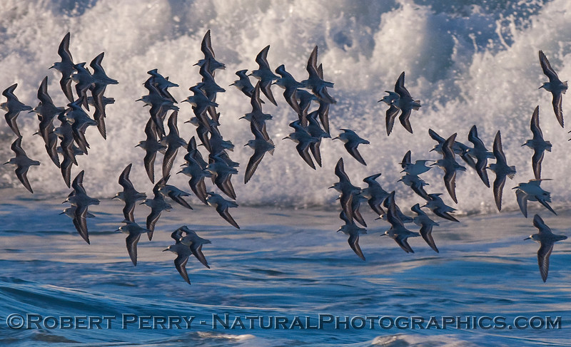 A flock of Sanderlings (Calidris alba) showing their dark, dorsal side.