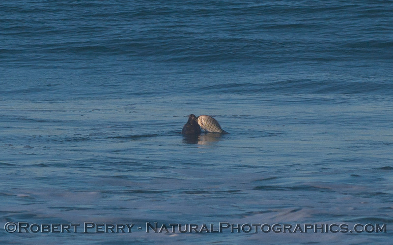 Image 1 of 2:  A Harbor Seal (Phoca vitulina) dines on a Barred Surfperch (Amphistichus argenteus) in the surf zone.