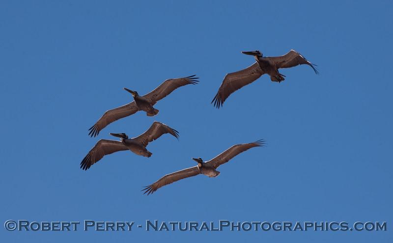 Brown Pelicans (Pelecanus occidentalis).
