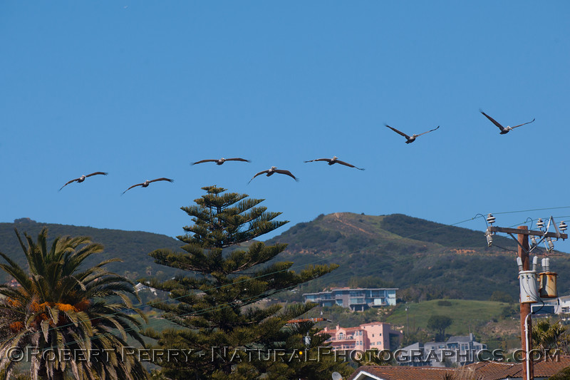 Brown Pelicans (Pelecanus occidentalis) in the hood.