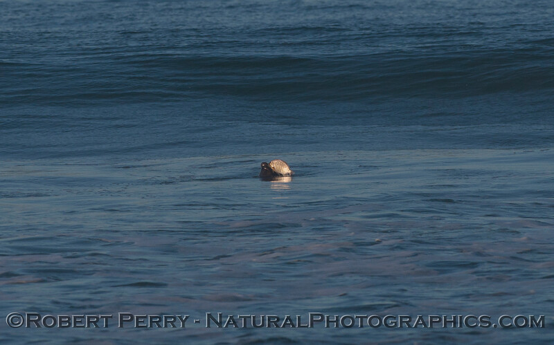 Image 2 of 2:  A Harbor Seal (Phoca vitulina) dines on a Barred Surfperch (Amphistichus argenteus) in the surf zone.
