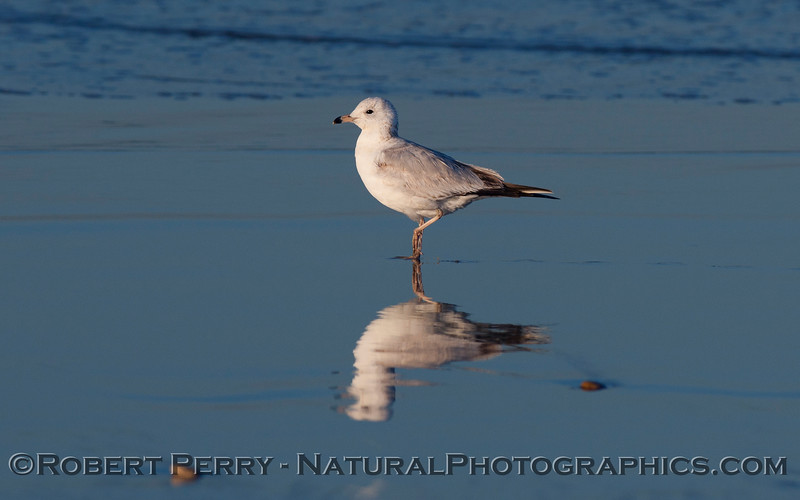 A young Ring Bill Gull  (Larus delawarensis) on wet sand.