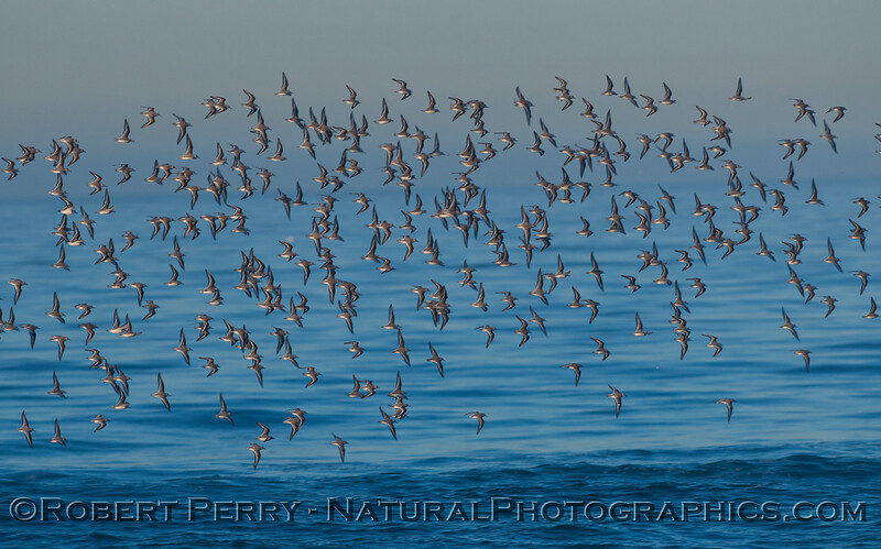 A mass of Sanderlings (Calidris alba) do a fly-by.