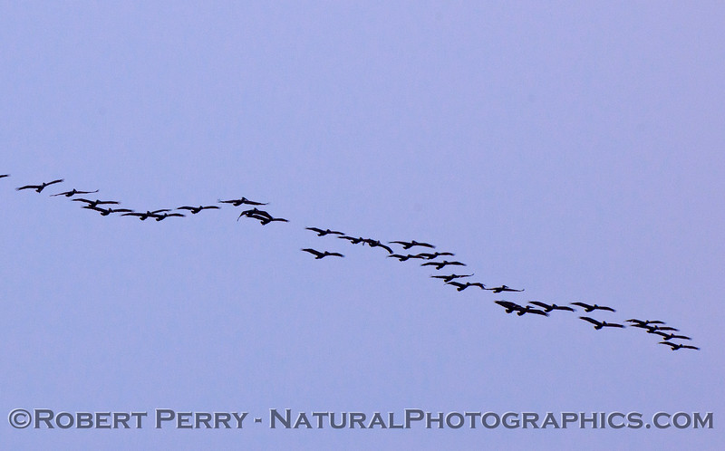 A wide line of Brown Pelicans (Pelecanus occidentalis).