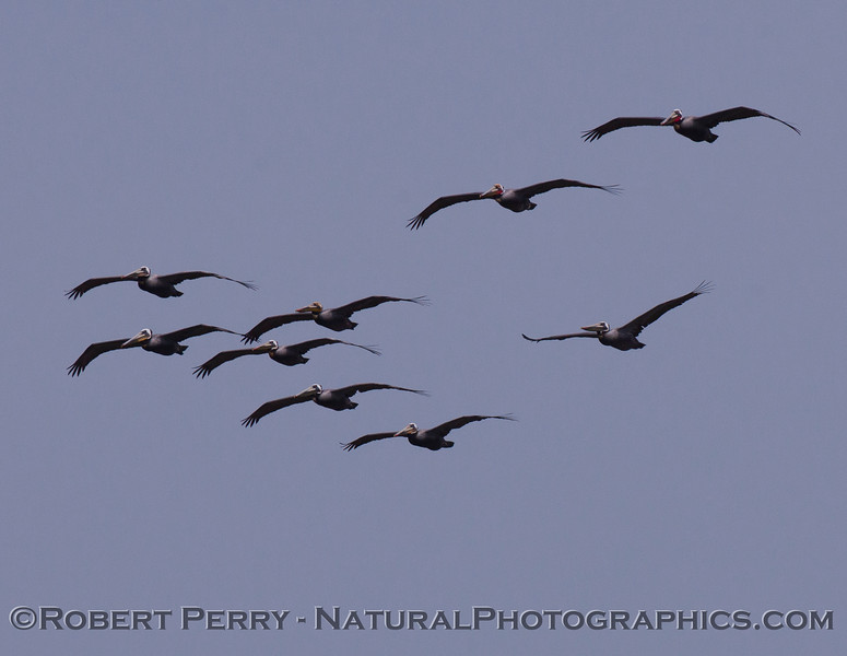 A closer look at a squadron of Brown Pelicans (Pelecanus occidentalis).