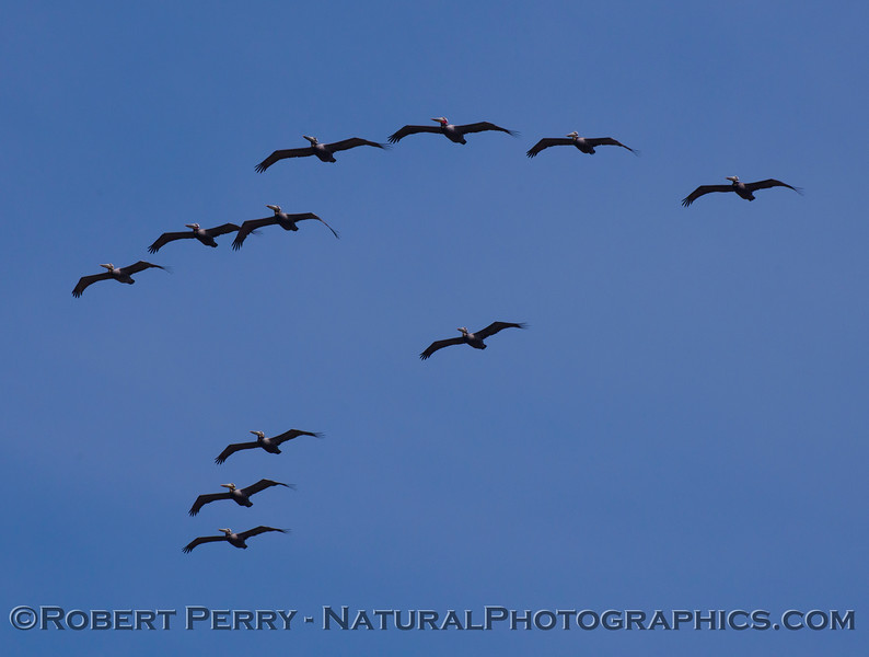 More Brown Pelicans (Pelecanus occidentalis) directly above.